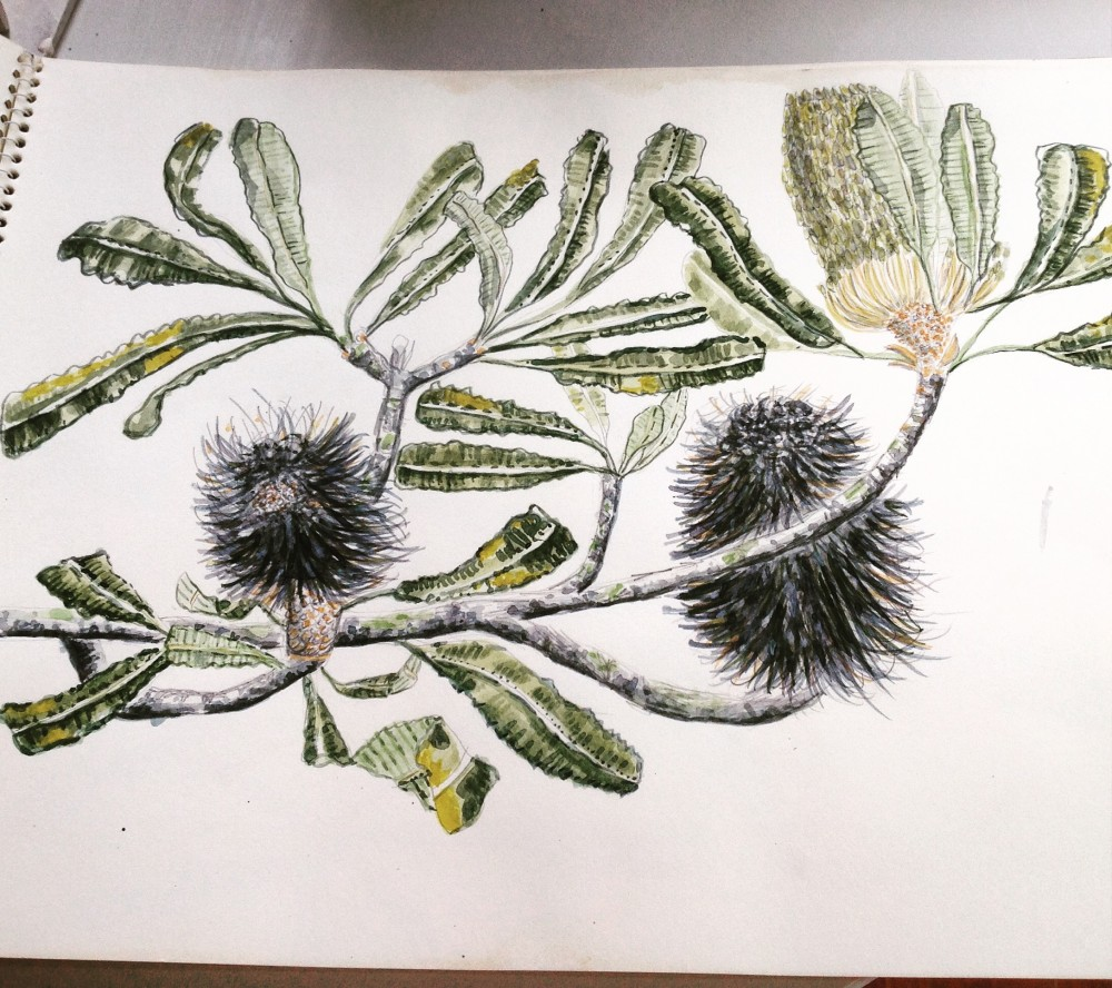 Banksia Serrata drawing by Fiona Hiscock