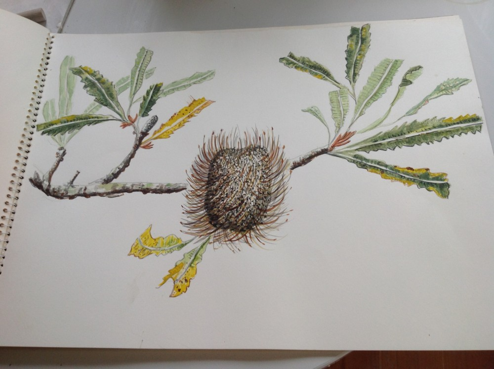 Banksia Serata drawing by Fiona Hiscock